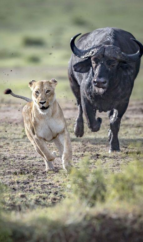 Sư tử đơn độc chọn đàn trâu làm mục tiêu tấn công của mình