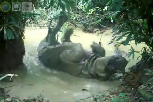 Tê giác tắm bùn.