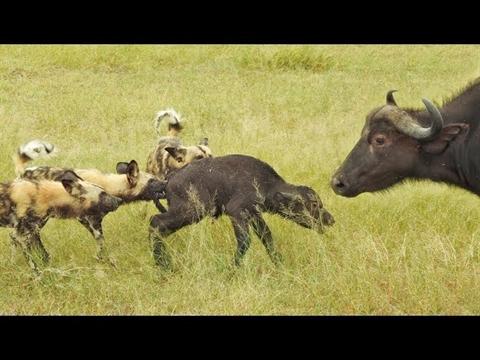 Trâu mẹ không thể làm gì để cứu con khỏi những kẻ săn mồi