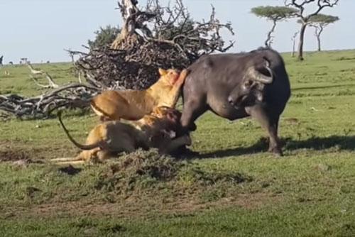 CLIP: Trâu rừng chết thảm dưới nanh vuốt của đàn sư tử