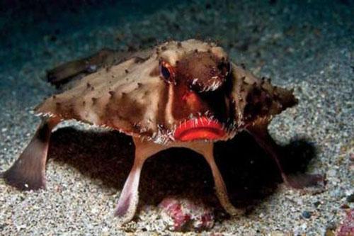 1. Cá dơi môi đỏ. Ảnh: Tepbac.com.