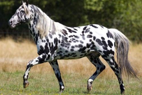 10. Ngựa Appaloosa.