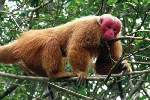 5. Khỉ mặt đỏ.