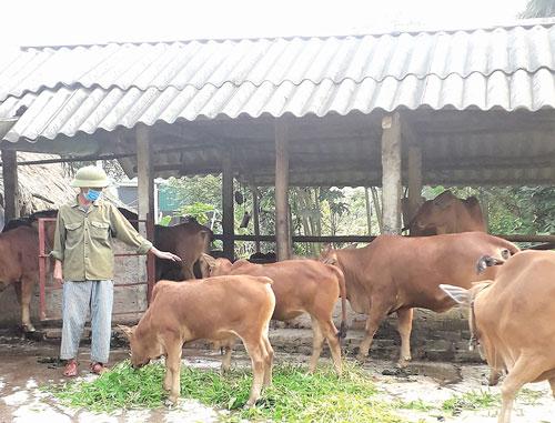 Nhờ chăn nuôi bò, gia đình ông Chỉnh đã vươn lên thoát nghèo có cuộc sống ổn định hơn.