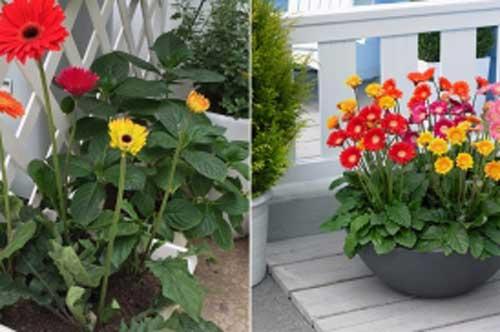 Cách trồng và chăm sóc hoa đồng tiền ra nhiều bông đẹp