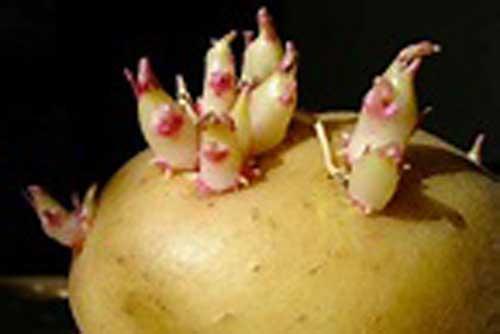 Thấy khoai tây mọc mầm, hãy làm ngay việc này và điều kinh ngạc sẽ xảy ra