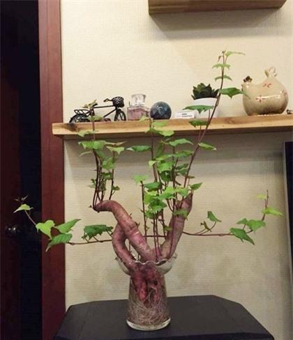 Khoai lang mọc mầm cũng có thể biến thành cây cảnh.
