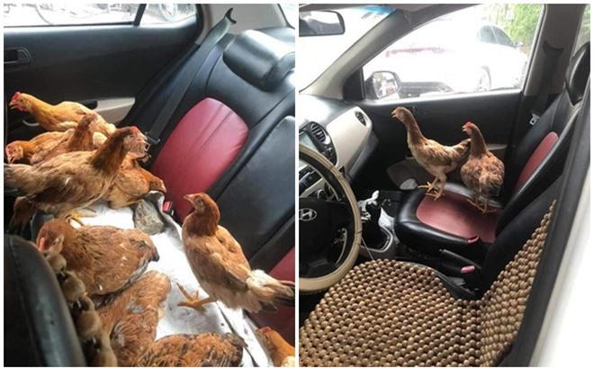 """Cả đàn gà thoải mái ngồi trong ô tô điều hòa mát lạnh khiến người đi đường """"tròn mắt"""" ngạc nhiên - Ảnh 1."""