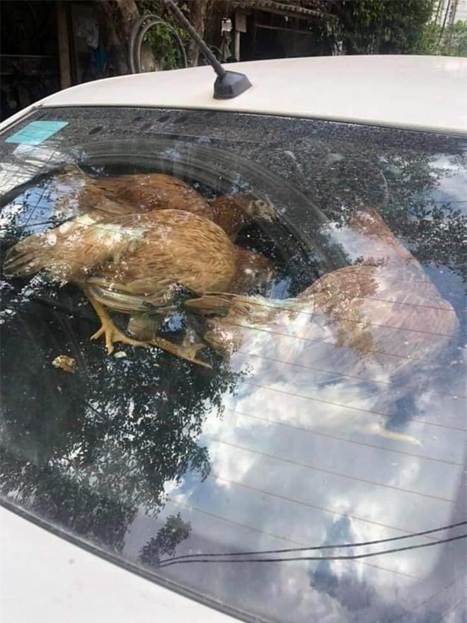 """Cả đàn gà thoải mái ngồi trong ô tô điều hòa mát lạnh khiến người đi đường """"tròn mắt"""" ngạc nhiên - Ảnh 2."""