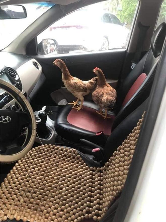 """Cả đàn gà thoải mái ngồi trong ô tô điều hòa mát lạnh khiến người đi đường """"tròn mắt"""" ngạc nhiên - Ảnh 3."""