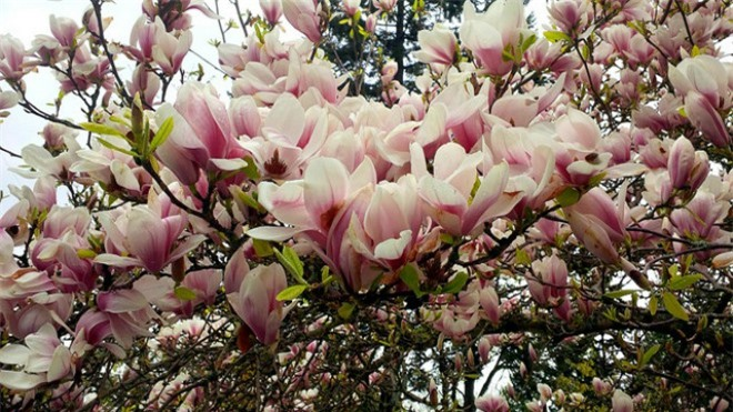 Trồng hoa mộc lan trước nhà, vừa đẹp vừa thơm lâu cả tháng - 1