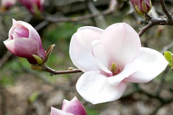 Trồng hoa mộc lan trước nhà, vừa đẹp vừa thơm lâu cả tháng - 5