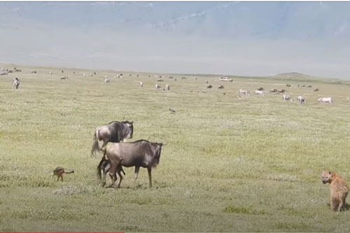 CLIP: Linh cẩu và chó rừng tấn công linh dương đầu bò vừa mới chào đời và cái kết