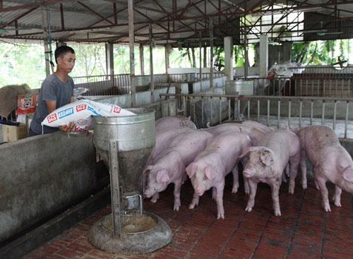 Mô hình trang trại trồng cây ăn quả kết hợp với nuôi lợn của gia đình anh Ngô Văn Hải cho thu nhập hàng trăm triệu đồng/năm, tạo việc làm cho nhiều lao động. Ảnh Nguyễn Lượng