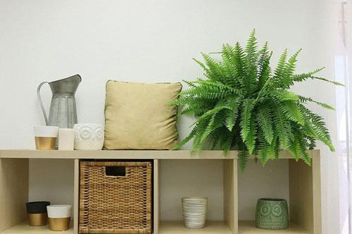 Dương xỉ: Dù hơi khó chăm sóc nhưng dương xỉ là một trong những ưu tiên hàng đầu để đặt trong phòng ngủ. Nó có khả năng thanh lọc không khí và một số chất gây hại đến cơ thể.
