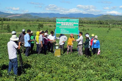 Mô hình trồng lạc trên đất lúa đem lại hiệu quả cao tại xã Xuân Quang 2, huyện Đồng Xuân, tỉnh Phú Yên.