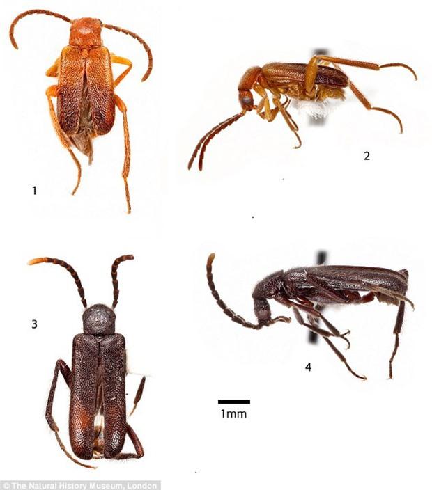 Phát hiện loài bọ cánh cứng có đốt chân hình trái tim - Ảnh 2.