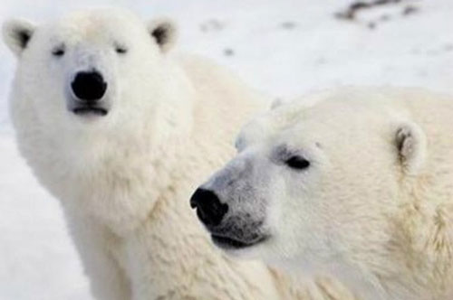 Gấu bắc cực sẽ tuyệt chủng vào cuối thế kỷ 21 - Ảnh: Reuters.
