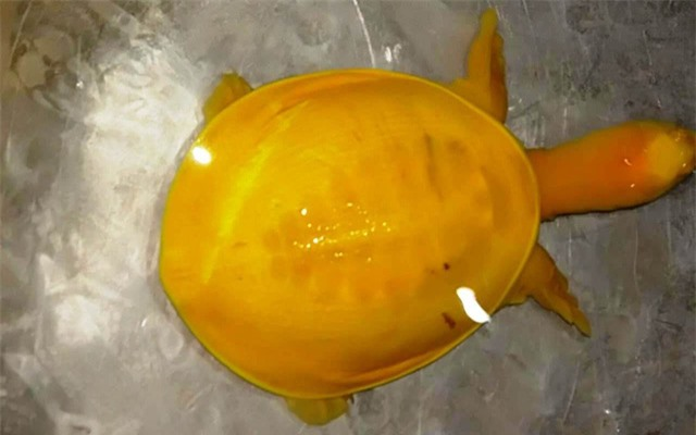 Phát hiện rùa toàn thân màu vàng tươi vô cùng quý hiếm ở Ấn Độ - Ảnh 1.