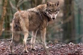 Kền kền đen, chó sói có là những động vật chung tình? - ảnh 3