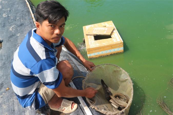 Anh Hùng kiểm tra đàn cá chạch lấu 6 tháng tuổi. Ảnh: Thành Hiệp.