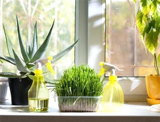 Trồng loài cây dễ sống hút mùi trong không gian bếp