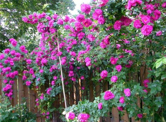 Hướng dẫn cách trồng hoa hồng leo đơn giản cho ra hoa nhiều nhất. Ảnh nguồn: Internet.
