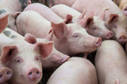 Đã có 7 doanh nghiệp Việt Nam nhập khẩu gần 9.000 con lợn sống từ Thái Lan. Ảnh minh họa.