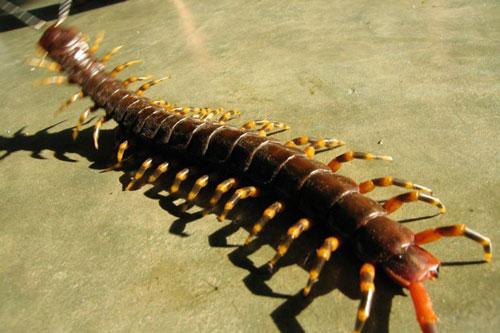 Top 10 quái vật đáng sợ nhất rừng Amazon