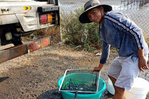 Khánh Hòa: Ương cá bớp giống kiếm hàng trăm triệu đồng/ha