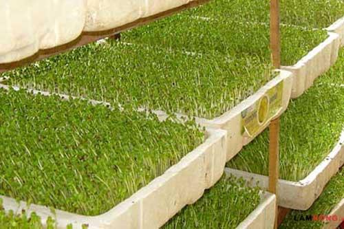 Cách trồng rau mầm trong thùng xốp đơn giản tại nhà
