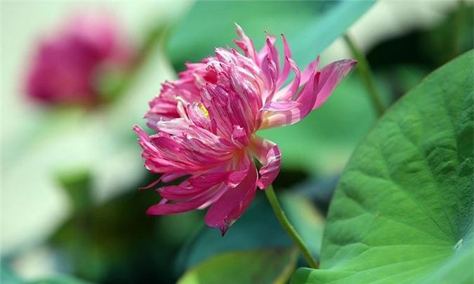 Huyết sen khi nở bung các cánh hoa thường có độ cong đều