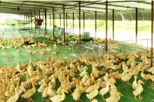Tây Ninh: Hiệu quả từ nuôi vịt trên sàn lưới