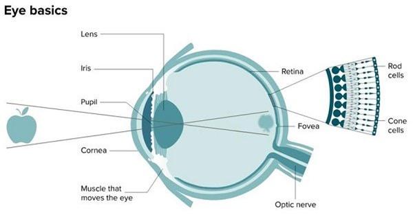 Cấu trúc cơ bản của mắt cho thấy vị trí của hố mắt.