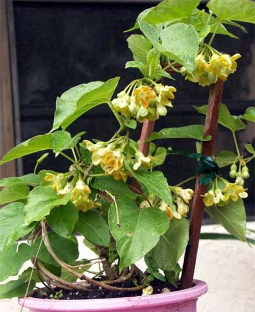 Cách trồng hoa thiên lý đơn giản vừa có rau ăn vừa có bóng mát, hoa thơm - 6