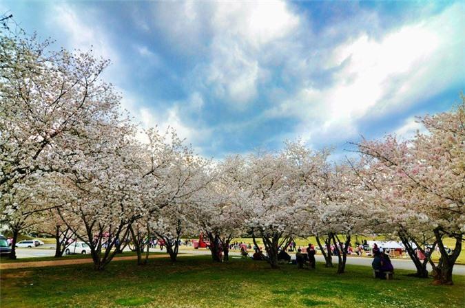 Mỗi mùa xuân, Macon lại ngập trong màu hồng phớt, trắng và hồng đậm của những cây hoa anh đào.
