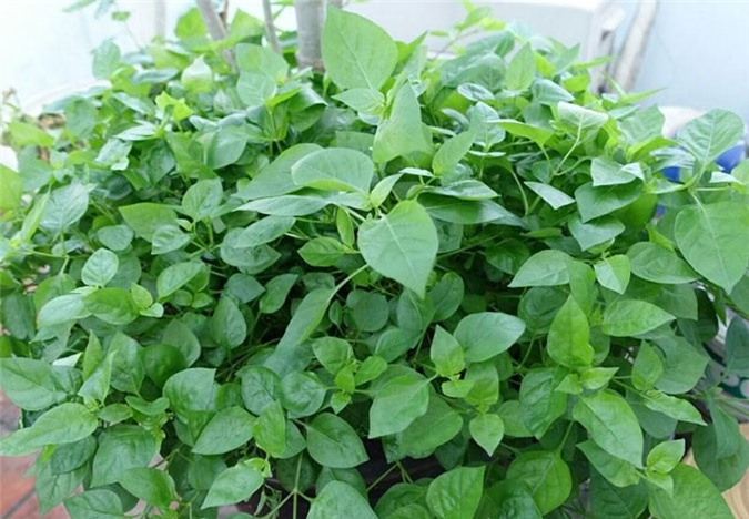 Mách chị em cách trồng rau ngót Nhật nhanh cho thu hoạch, ăn ngon lại siêu bổ dưỡng - 1