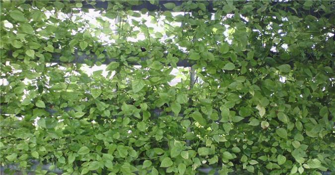 Mách chị em cách trồng rau ngót Nhật nhanh cho thu hoạch, ăn ngon lại siêu bổ dưỡng - 2