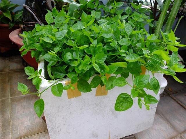 Mách chị em cách trồng rau ngót Nhật nhanh cho thu hoạch, ăn ngon lại siêu bổ dưỡng - 3