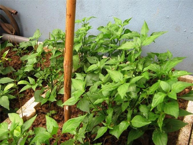Mách chị em cách trồng rau ngót Nhật nhanh cho thu hoạch, ăn ngon lại siêu bổ dưỡng - 4
