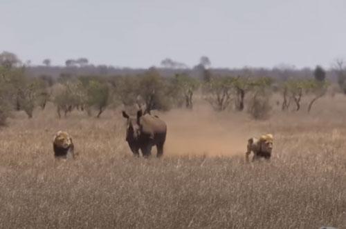 """CLIP: Tê giác """"cà khịa"""" hai con sư tử đực"""