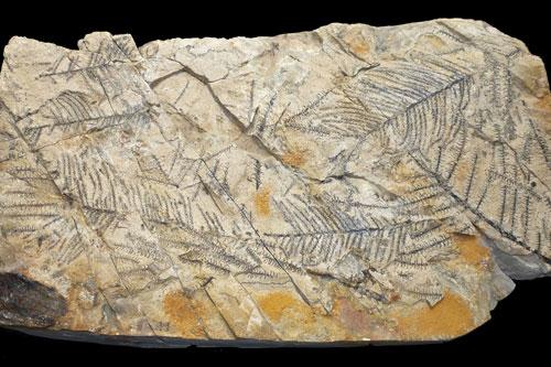 Hóa thạch gỗ Brachyoxylon.