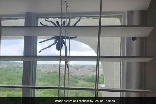 Hình ảnh con nhện khổng lồ được bà Thomas chia sẻ trên Facebook