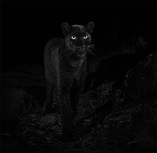 Bức hình lột tả được thần thái của loài báo đen rất hiếm.