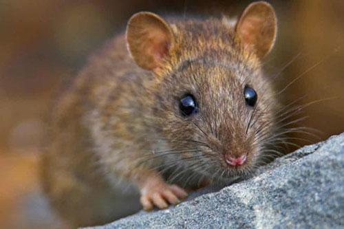 Cứ lấy nắm gạo trộn với thứ này, đàn chuột không bao giờ dám bén mảng tới nhà bạn mà lại an toàn