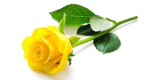 Hoa hồng vàng thường được chọn để tặng bạn bè, người thân hay đồng nghiệp.