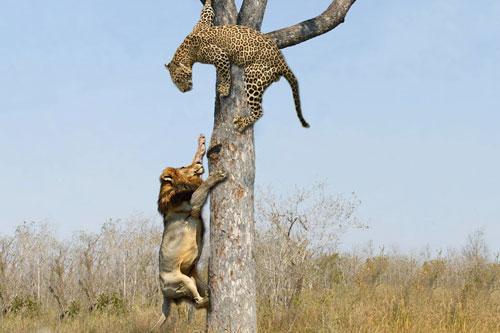 Sư tử leo cây cướp mồi của báo hoa mai và cái kết đầy bất ngờ