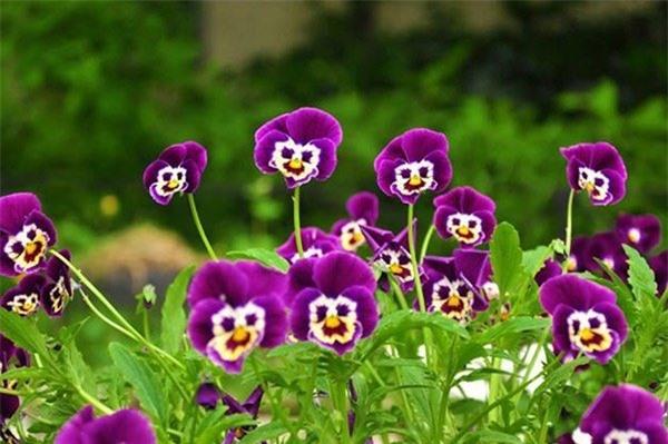 hoa-panses