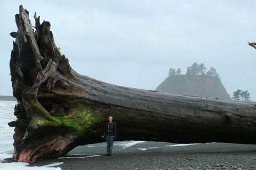 Cây gỗ khổng lồ dạt vào bờ biển.
