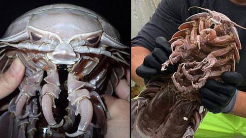 Các nhà khoa học Singapore mới đây đã tìm thấy một loài sinh vật biển có 14 chân trong lúc tiến hành khảo sát gần bờ biển Bantern, phía Đông đảo Java, Indonesia.